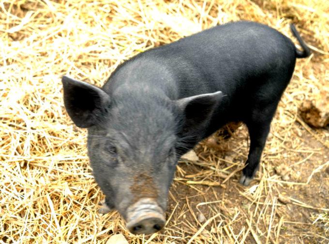 宿で飼っている黒豚「ピグミ」