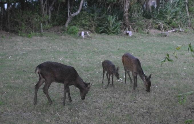 昼間見たケラマ鹿