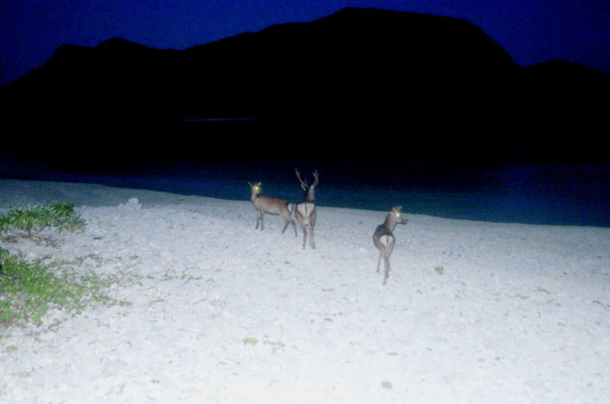 闇に目が光るケラマ鹿