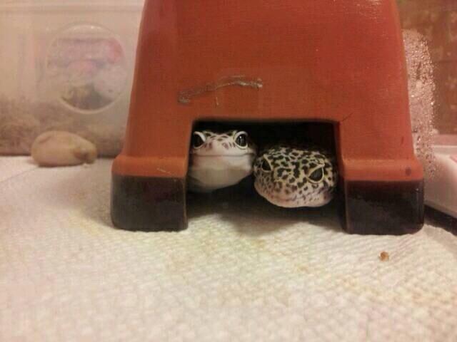 穴に隠れる2匹のトカゲ