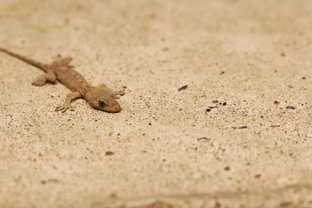ヤモリ 沖縄 種類