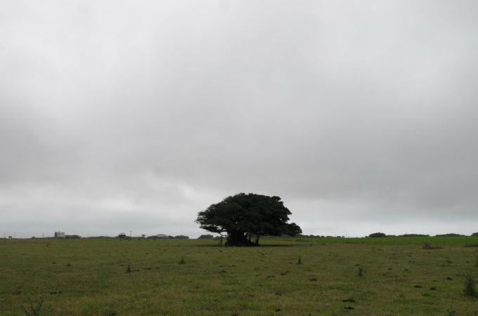 牧場の大きな木