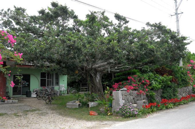 黒島「みやき荘」のガジュマル