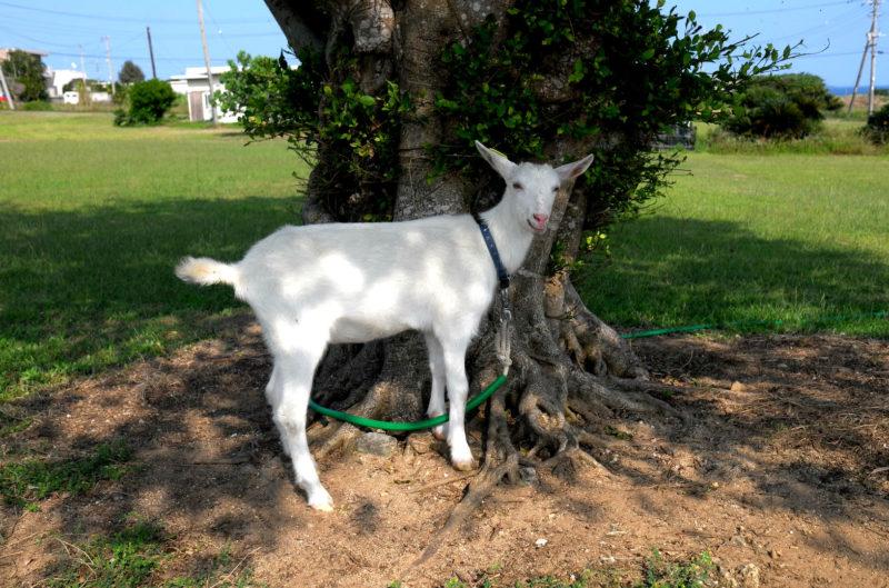 西表島のヤギ