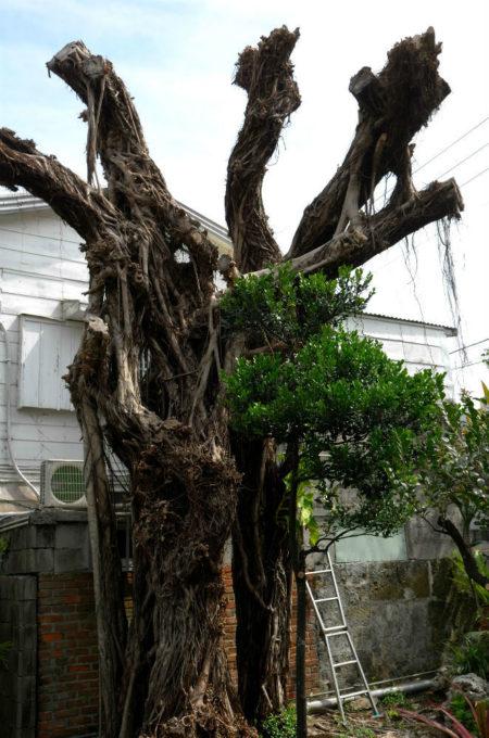 庭にあるガジュマルの樹
