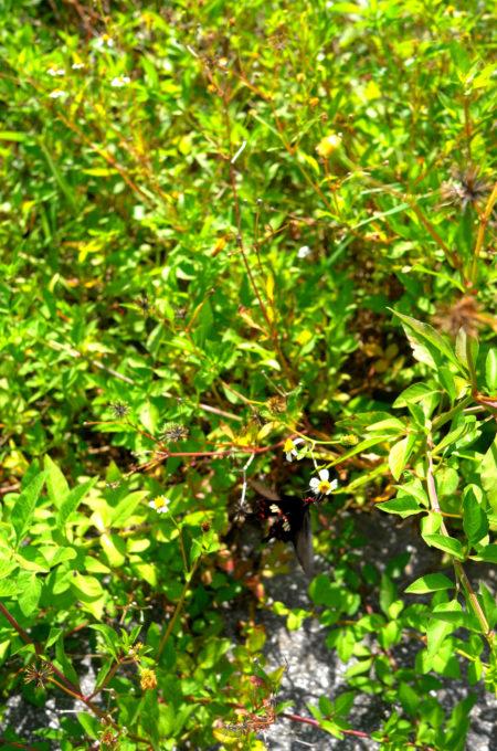 蜜を求める黒アゲハ