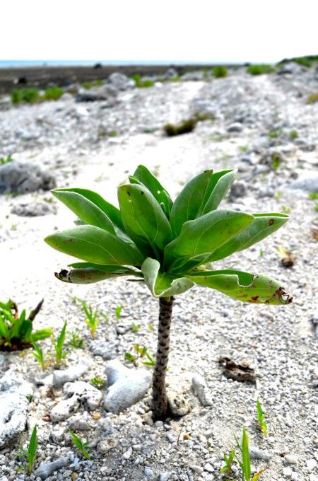 白保海岸の植物
