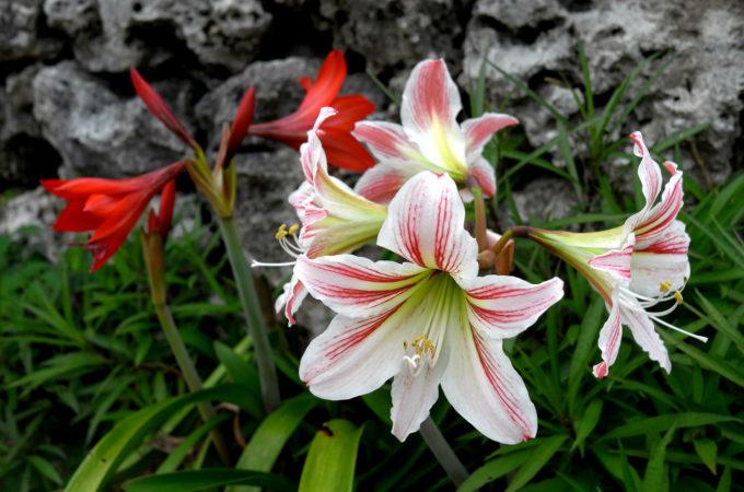 咲き誇るユリの花