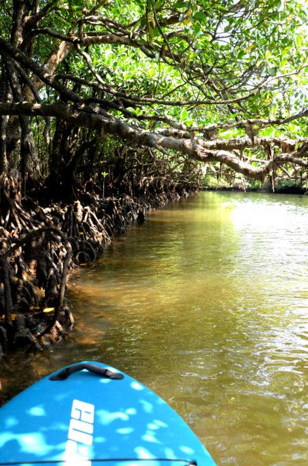 川にびっしり生えていkるマングローブ