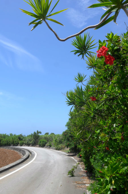 ハイビスカスは島のどこにでも咲いている