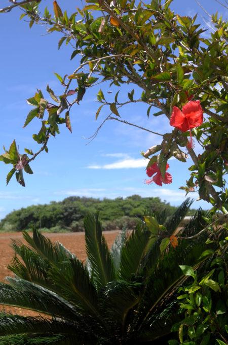 農地のところどころで見かける熱帯植物