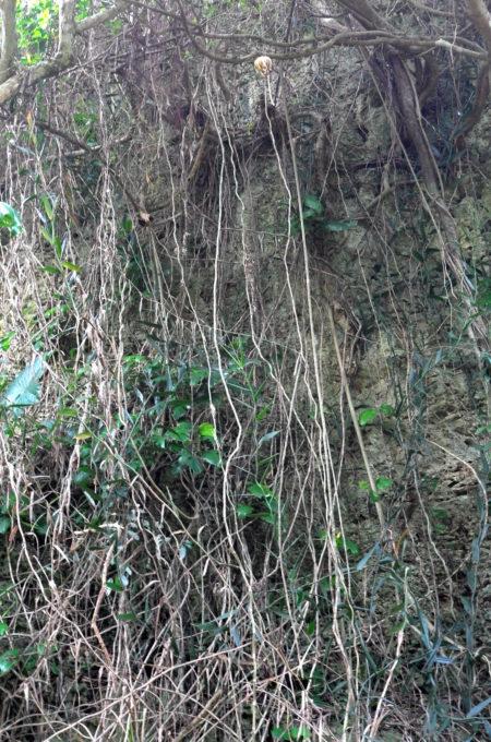 崖を這う木の茎や蔓