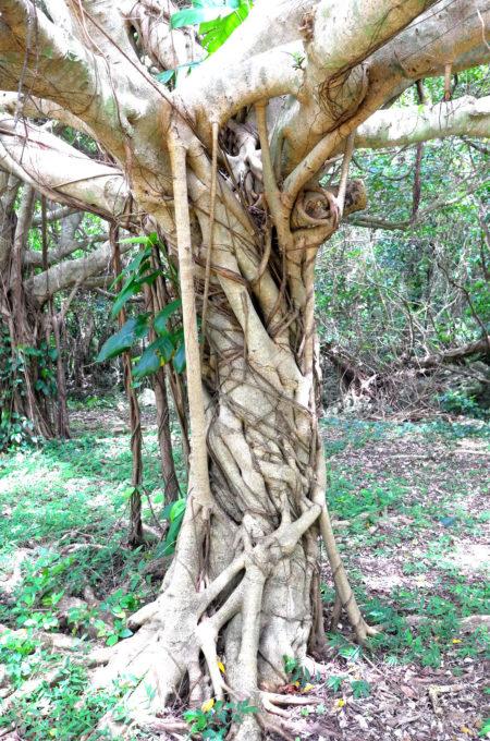 茎と根の境が曖昧なガジュマル