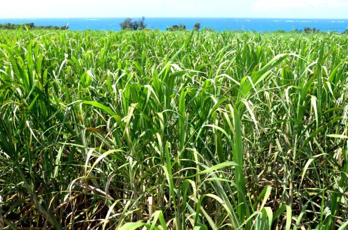 伊良部島のさとうきび畑