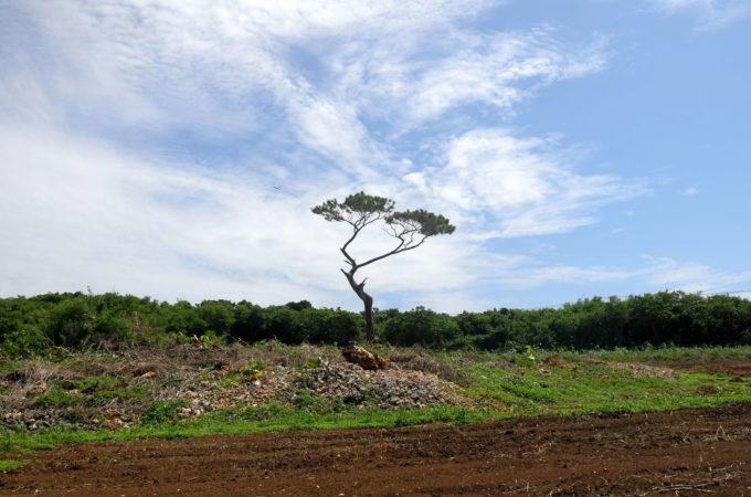 シンボリックに立つ松の木