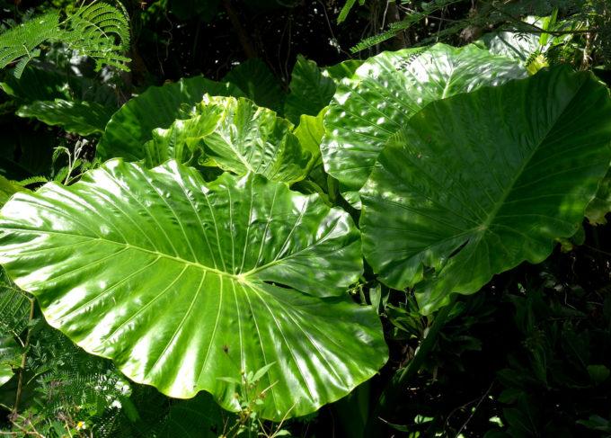 強い日差しを反射する大きな葉