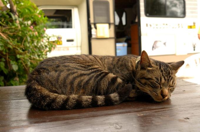 飼い猫の「シマ」