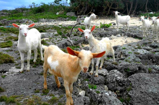 海際の崖の上にいたヤギの群れ
