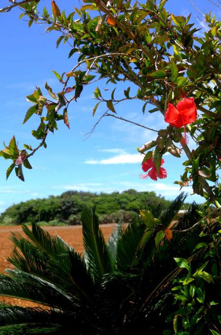 青い空と茶色の土、樹々の緑、そして赤いハイビスカス