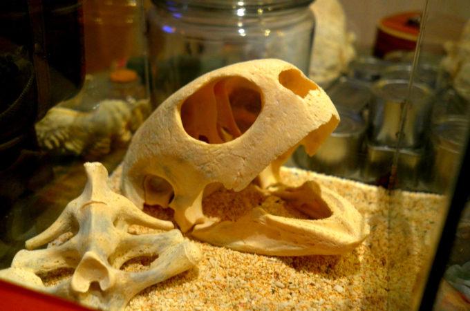 ウミガメの頭蓋骨