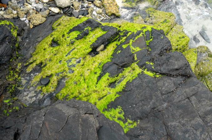 岩に張り付くアオサ