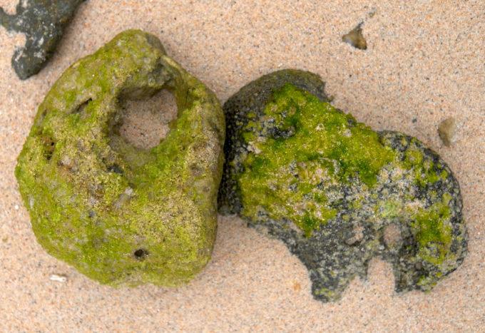 サンゴに張り付くアオサ