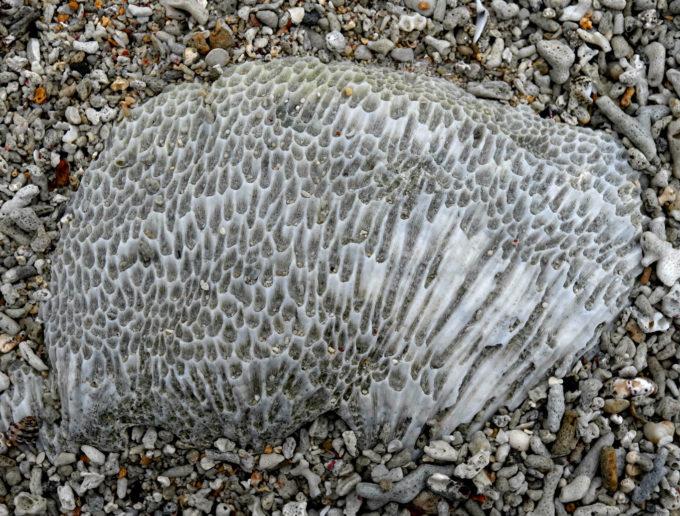 穴がびっしりあるサンゴ