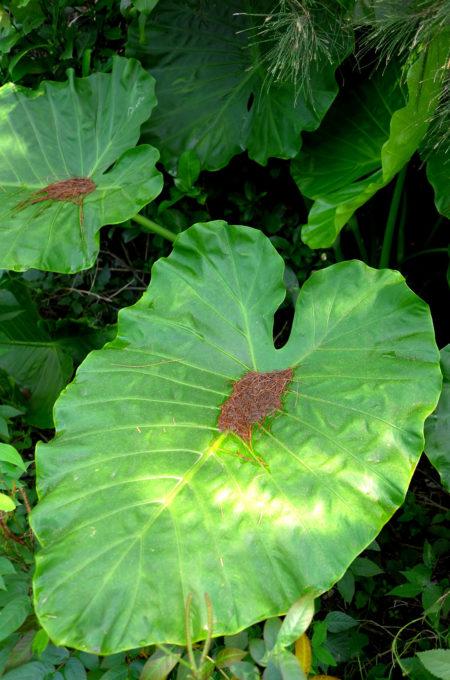 鳩間島の植物