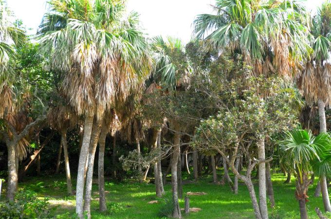 キャンプ場横のクバ樹林