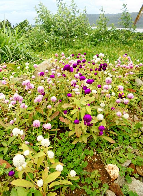 庭にはたくさんの花も咲いています