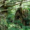 西表島のウタラ炭鉱跡 南洋植物侵食の歴史遺構