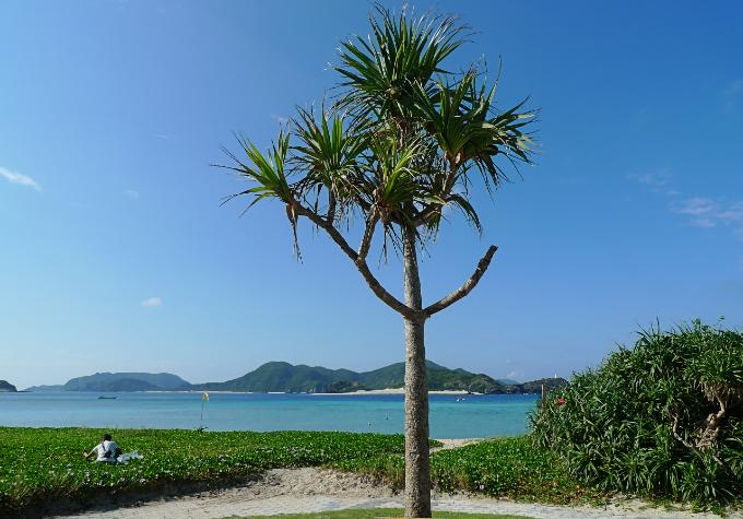 阿真ビーチのシンボル的な木