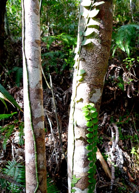 木立に這う蔓