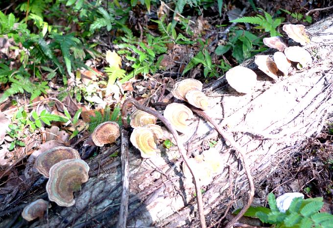 倒木に群がるキノコ