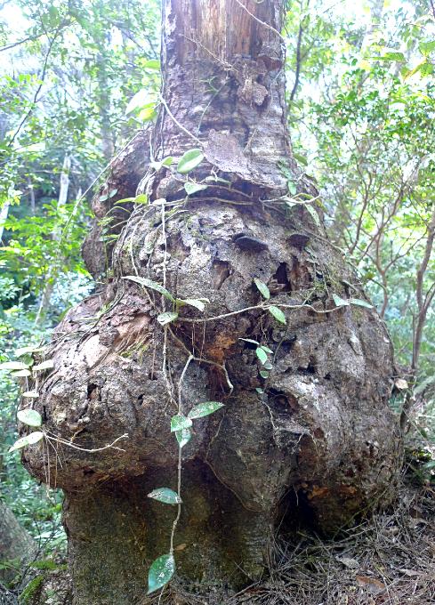 巨大なコブの塊のような樹木