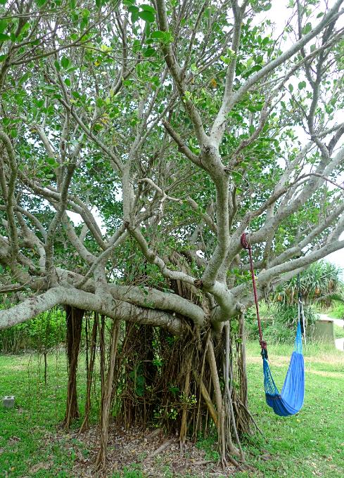 ガジュマルの樹とハンモック